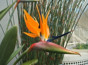 The aptly named 'Bird of Paradise'